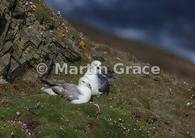 Nesting pair of Northern Fulmars (Fulmarus glacialis), Sumburgh Head, Mainland South, Shetland, Scotland