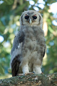 Verreaux's eagle owl, Bubo lacteus, Kruger National Park, South Africa