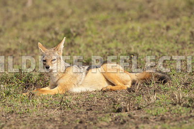 black_backed_jackal_relaxing_6