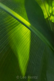 Large Green Leaf in the the Anna Scripps Whitcomb Conservatory in Belle Isle Park