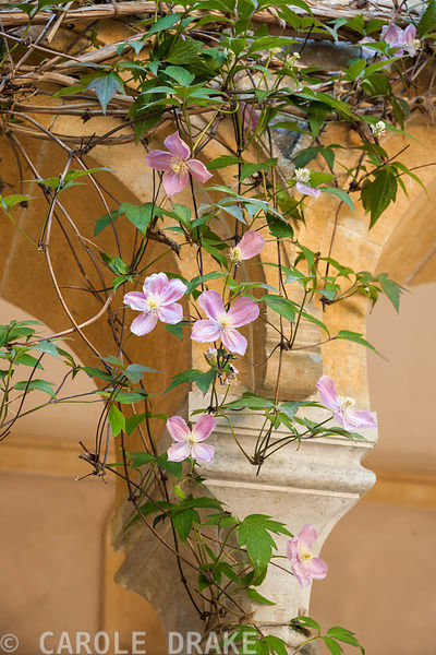 Clematis montana trained around the inside of the Cloisters. Iford Manor, Bradford-on-Avon, Wiltshire