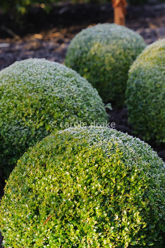 Frosted clipped box balls. Sir Harold Hillier Gardens, Ampfield, Romsey, Hants, UK