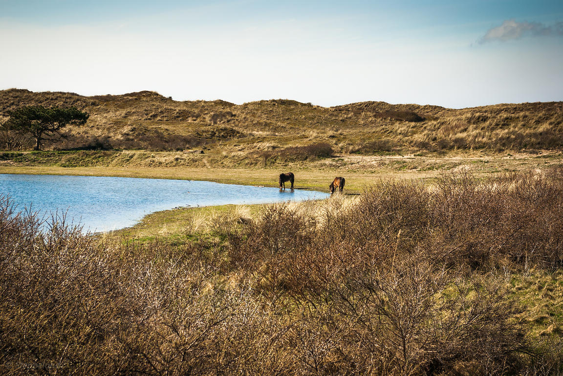 Two wild Konik horses near the water.