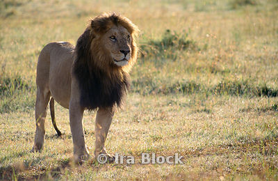 An adult male lion, Kenya, Africa
