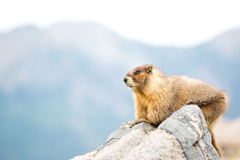 MARMOT ROCKY MOUNTAIN NATIONAL PARK COLORADO