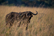Buffalo, Syncerus caffer, Kidepo Valley National Park, Uganda