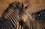Burchell's zebra, Crawshay's race, (Equus burchellii crawshayi), South Luangwa National Park, Zambia