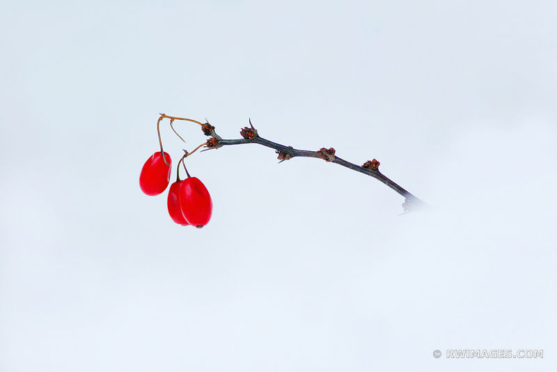 JAPANESE RED BARBERRY IN SNOW BEBERIS THUNBERGII WINTER BOTANICALS