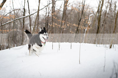 black and white husky with zoomies in winter forest