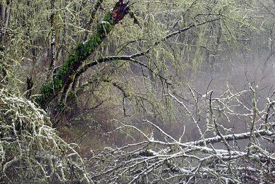 Winter snow graces the jumbled wildness of a swamp along the Coast Fork Willamette River near Eugene, Oregon.