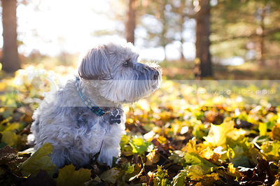 handsome small grey dog sitting in autumn leaves with sunflare