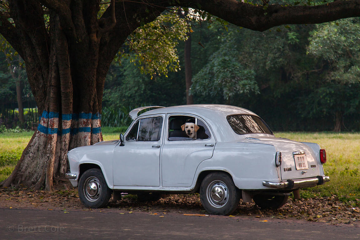 A dog peeks out of the window of a white ambassador car on the Maidan (Central Park), Kolkata, India.