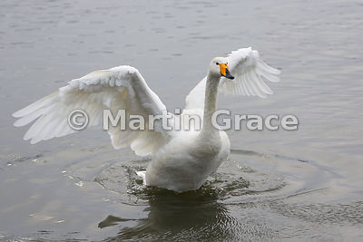Wild Whooper Swan (Cygnus cygnus) exercising its wings, Tjornin City Pond, Reykjavik, Iceland