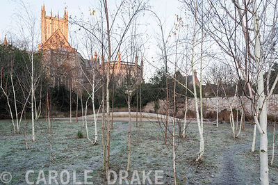 Early morning sun colours Wells Cathedral gold seen from a glade of silver birches in the Garden of Reflection in the Bishop'...