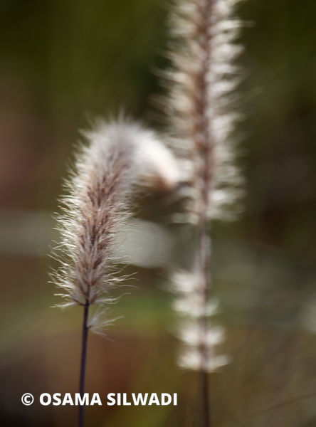 The Wildflowers of Palestine -Pennisetum setaceum