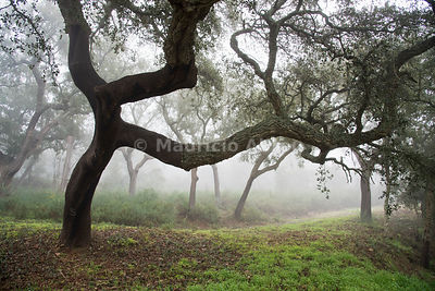Cork trees in a foggy day. Serra d'Ossa, Alentejo. Portugal