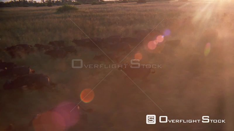 Aerial wide angle shot large herd of buffalo running across grassy plain at sunset sunrise Zimbabwe