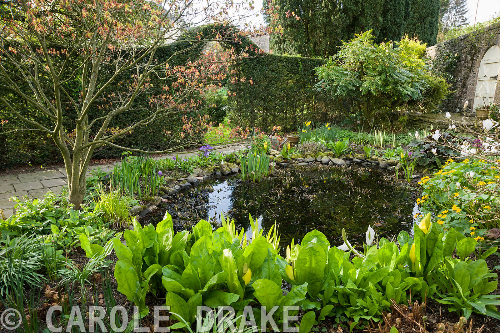 Small pond surrounded by Lysichiton americanus, irises, marsh marigold, Caltha palustris and shrubs mahonia, acer and Magnoli...