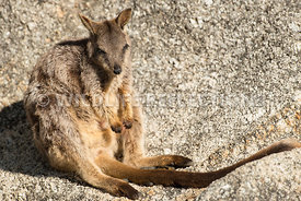 rock_wallaby_mareeba_rock_sit-20