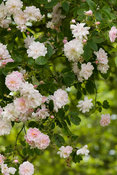 Apple blossom flower of Rosa 'Paul's Himalayan Musk' hanging from old apple tree
