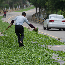Tea leaves drying on road