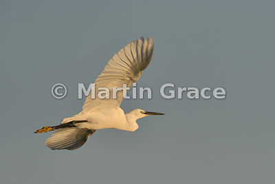 Little Egret (Egretta garzetta) flying at sunset, River Chobe, Botswana