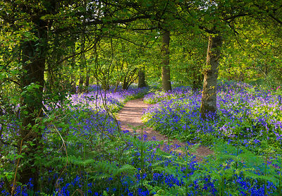 Bluebell woods walk