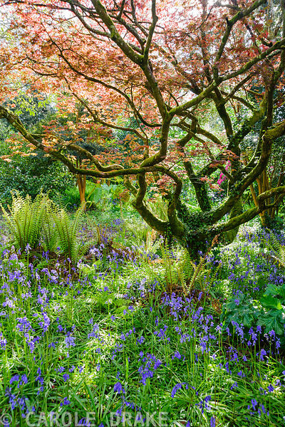 Blue bells and ferns smother the ground below a spreading acer in the South Garden. Trewidden Garden, nr Penzance, Cornwall, UK