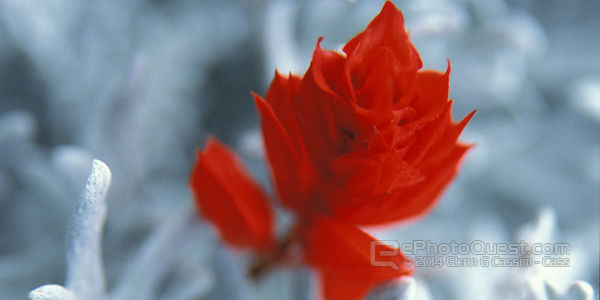 Red Flower on Grey