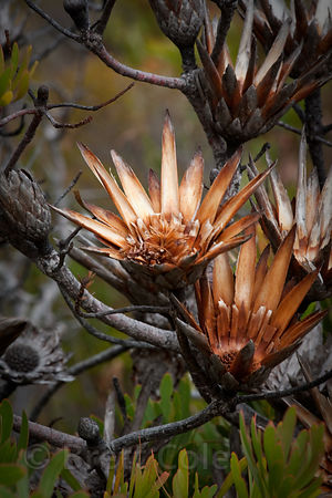 Dried flowers of the (sp.) plant, Smitswinkel Flats, Cape Peninsula, South Africa