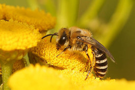 Zijdebij species - Colletes species, Miseriebocht