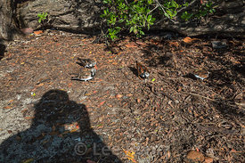 Ruddy Turnstones Foraging for Human Food Outside Fort Jefferson