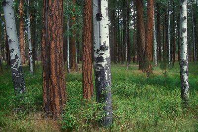 Native forest of Ponderosa Pine and Aspen near Sisters, Oregon.