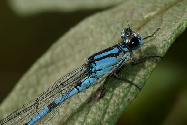 Odonata - Dragon & damselflies - Libellen en waterjuffers