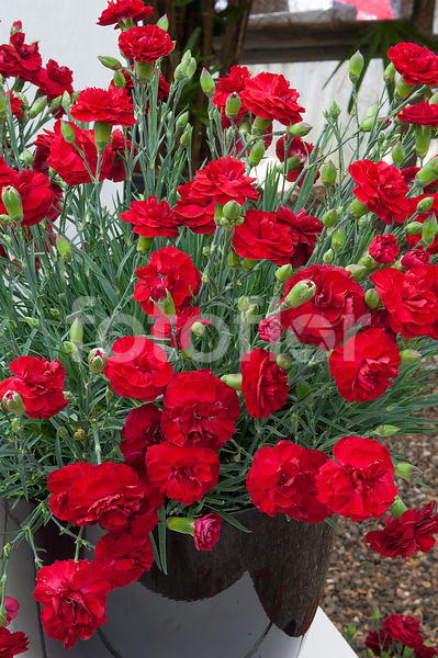 Dianthus Scent First® Passion, œillet, rouge