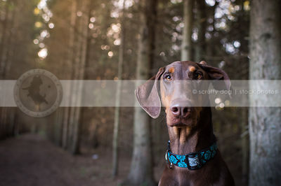 intense red and tan doberman dog staring in pine tree forest
