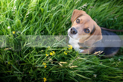 tricolor dog staring upward from flowers and grass