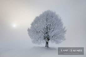 Lime tree with hoar frost in winter (lat. tilia) - Europe, Germany, Bavaria, Upper Bavaria, Miesbach - digital