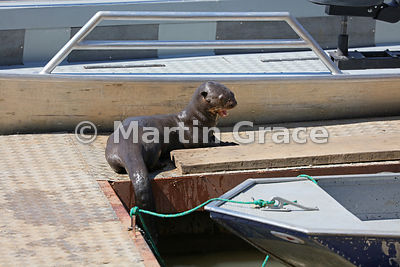 A female Giant River Otter (Pteronura brasiliensis) resting on the jetty at Porto Jofre, Mato Grosso, Brazil