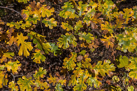 California Black Oak, Quercus kelloggii, Leaves in Autumn Color in Yosemite Valley