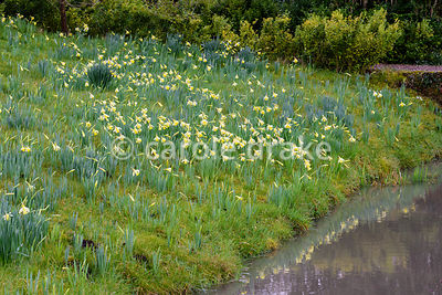 Bank beside a stream flowering with naturalised snowdrops and daffodils at Hodsock Priory, Blyth, Notts