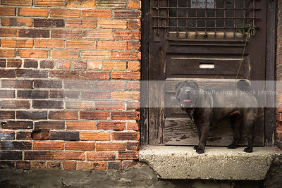 black sharpei dog standing on doorsill by wooden door in urban setting