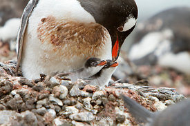 A gentoo penguin feeds its small chick at Antarctic Peninsula.
