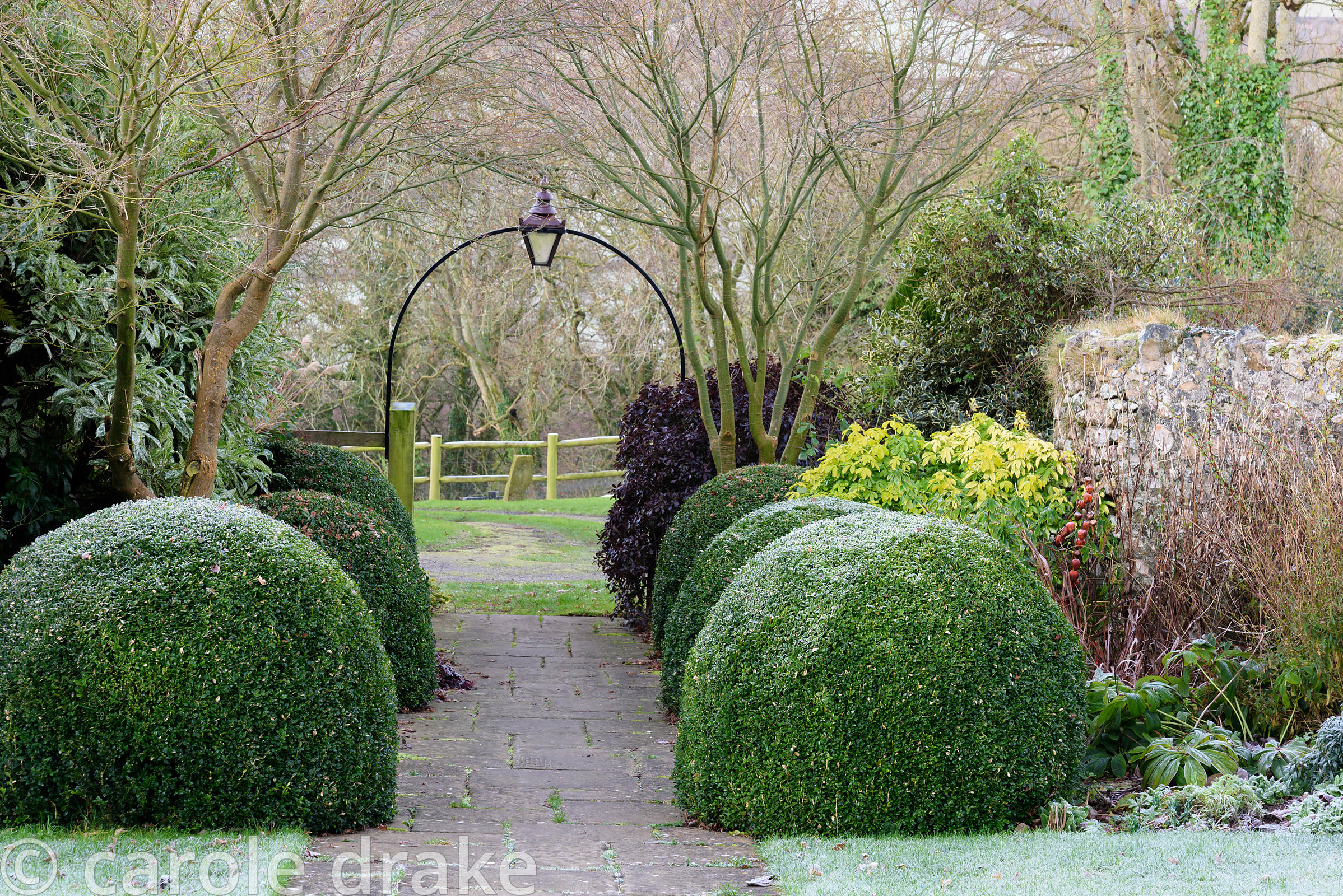 Clipped box mounds frame a path leading into the front garden along with bright Choisya ternata Sundance and deep purple Pitt...