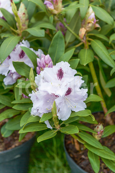 Rhododendron 'calsap'