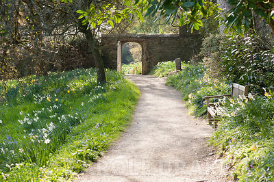 Path along the top of the meadow full of naturalized daffodils leads through a wall into the upper garden. Cotehele, Cornwall...