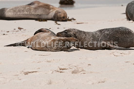 galapagos_sea_lion_sandy_roll_whole_4