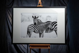 Formal Portraits with Zebra: Zimbabwe 2017: Photographer: Neil Emmerson: £975