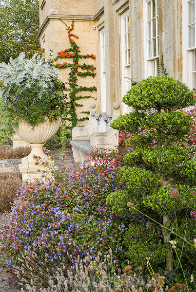 Cloud-pruned Ilex crenata on the terrace surrounded by blue ceratostigma, lavender and fuchsia with trained pyracantha on wal...