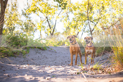 two tan dogs standing together on sand dune with vegetation